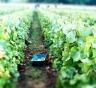 pannier amongst the vines